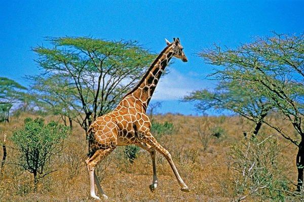 【亲子】肯尼亚11日8晚跟团游·四大公园+马赛部落+长颈鹿公园+迪拜+阿布扎比