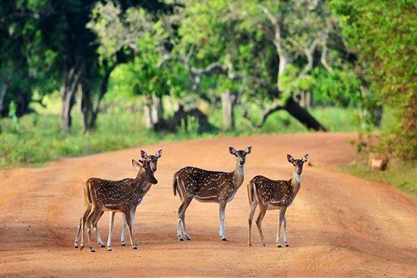 【乐享斯里兰卡】斯里兰卡7日5晚跟团游·米内日亚国家森林公园+赠船游红树林+海边火车