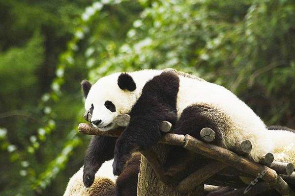 【山花盛艳】江西三清山+激情漂流+大熊猫乐园五星三日游